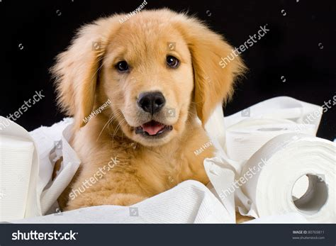 golden retriever toilet a golden retriever puppy laying on a bed of soft toilet paper stock photo