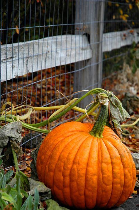 planting pumpkins for growing pumpkins bonnie plants