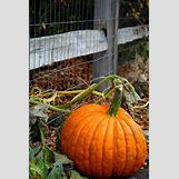 Pumpkins Growing   600 x 902 jpeg 167kB