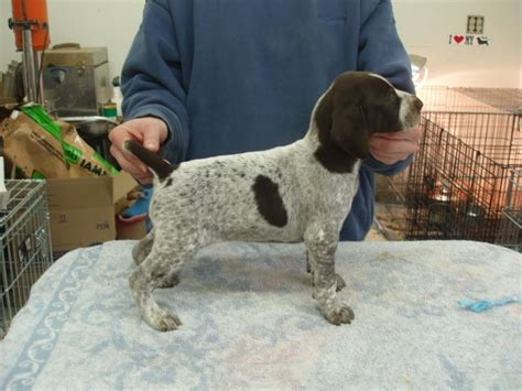 german shorthaired pointer puppy for sale 1000 ideas about gsp puppies on german shorthaired pointer pointers and