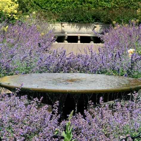buy catmint nepeta  hills giant  delivery  crocus