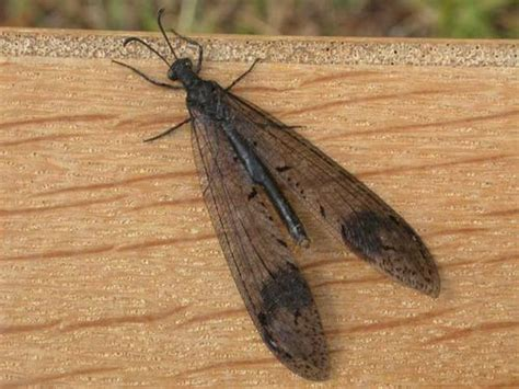 doodlebug insect facts antlion lacewing glenoleon falsus