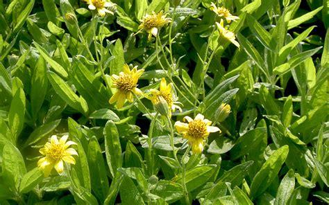 Shoo Nr Arnika arnika saatgut arnica chamissonis ssp foliosa