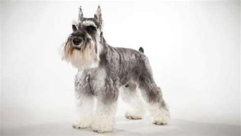 miniature schnauzer dog breed cairn terrier pictures posters news and videos on your