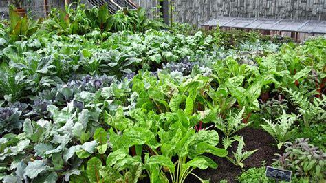 effective medicinal herbs  grow   garden