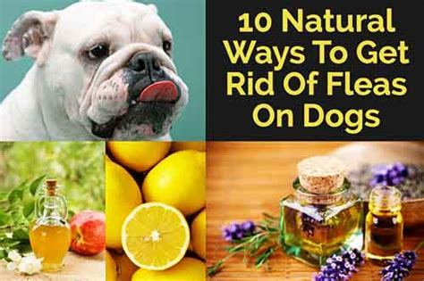 10 ways to get rid of fleas on dogs lil moo