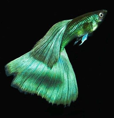 Guppy Blue Moscow Promo live fancy guppies brilliant moscow blue green top quality
