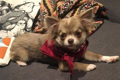 powell s puppy palace s chihuahua puppy mauled to by staffie in palace park