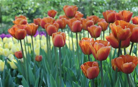 Tulip Brown by Tulip Brown Sugar Quality Flower Bulbs Youtulip Co Uk