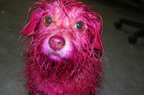 pink dogs no i m not kidding 15 photos of dogs with dye reflections
