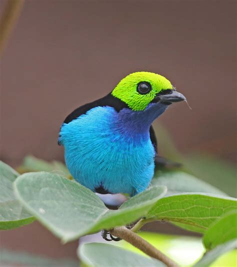 birds pictures pictures and information on paradise tanager