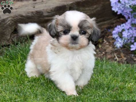 shih tzu puppies for sale in pa nj shih tzu rescue assistedlivingcares