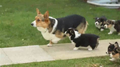 corgi puppies for sale ny corgi for sale pembroke corgifor sale for sale dolly 700 our corgi
