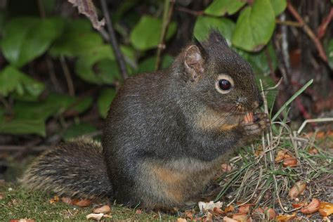 douglas squirrel wikipedia