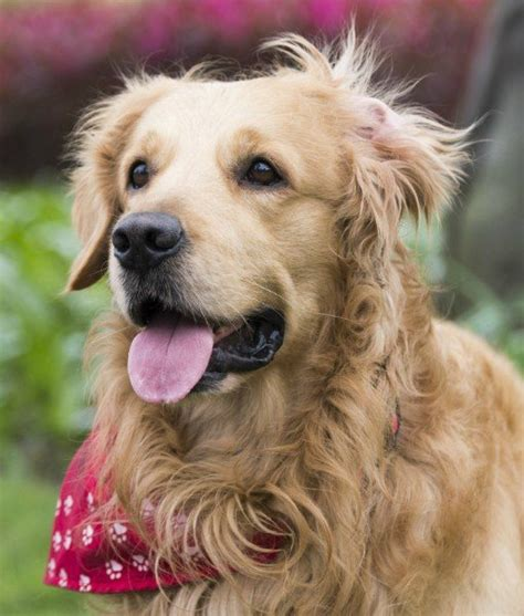 golden retrievers are the best dogs 10 best breeds for time owners golden retriever