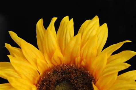 fiori girasole pin fiori piante girasoli foto sfondi per desktop