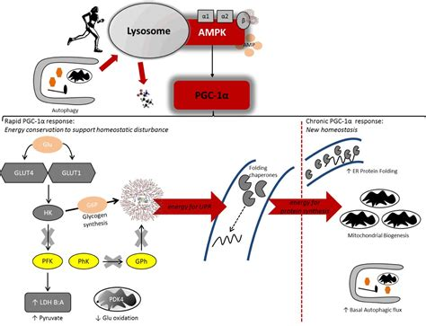 protein turnover effects of skeletal energy availability on protein
