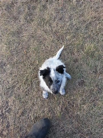 border collie puppies for sale in ohio 1000 ideas about collie puppies for sale on border collie puppies border
