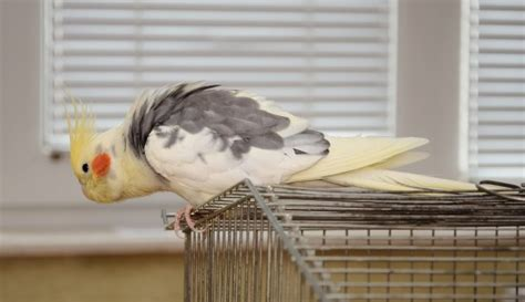 how to keep pet birds safe around the home pets4homes