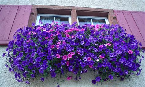 fiori per balconi fiori da balcone pendenti 3 piante a cascata facili da