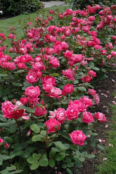 double knock  rose rosa radtko  detroit ann arbor