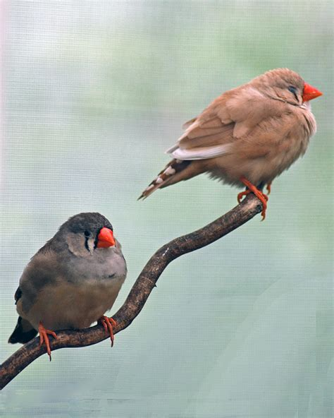 Two Birds Tote two birds on a branch photograph by diane bell