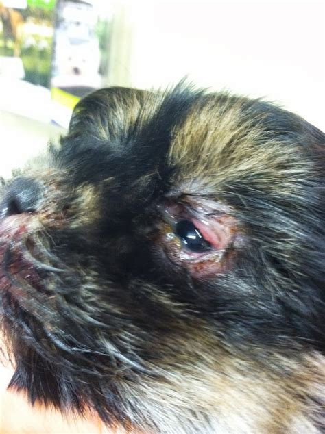 what is puppy strangles diary of a real veterinarian puppy strangles beau s story