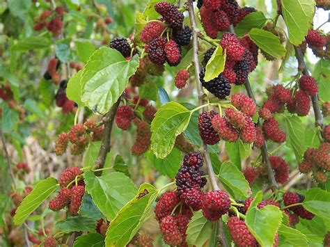 mulberry tree pictures images