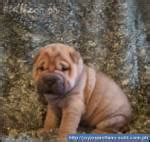 when do pugs go into heat pug sharpei mix quot oripei quot puppies for sale bacolod philippines free classifieds