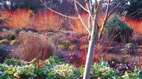 at t winter garden plant of the month january bressingham gardens