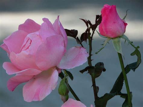 imagenes flores jasmin lindas imagens de flores lindas para papel de parede pesquisa