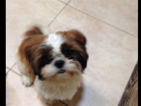 american shih tzu club shih tzu for sale by shih tzu puppies american kennel club