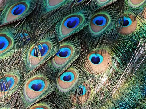Red Blind Free Photo Peacock Feathers Bird Colorful Free Image