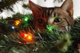 12 cats a climbing christmas trees with images 183 sfgate