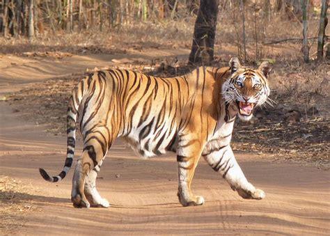 la mirada del tigre de bengala en el coraz 243 n de la india el rinc 243 n de sele