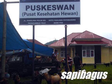 Bibit Sapi Payakumbuh payakumbuh pasar hewan terbesar di sumatera barat