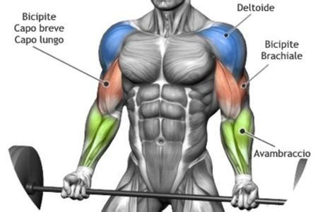 allenare i bicipiti a casa anatomia muscolare azfitness pagina 2