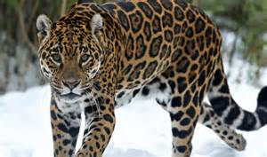 Jaguar Average Weight Jaguar Pictures On Animal Picture Society