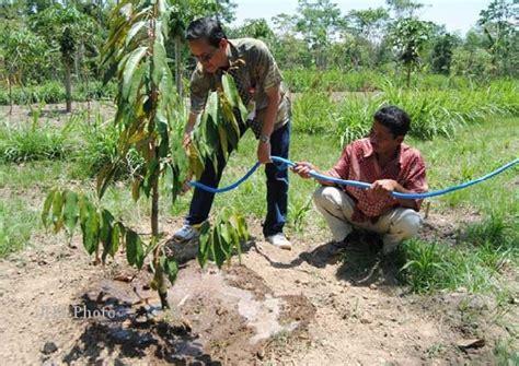 Harga Bibit Durian Musang King 2 Meter cara menanam dan budidaya durian montong
