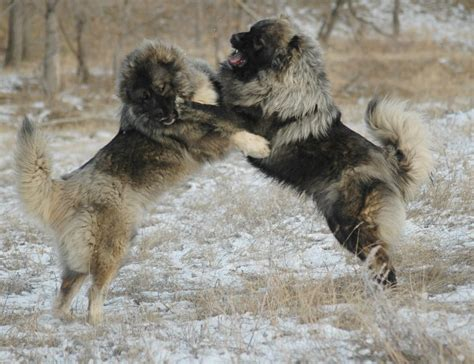 i want an island so ridiculously massive that a family of four caucasian mountain dogs are ridiculously massive and awesome