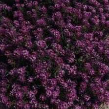 Benih Bibit Biji Bunga Begonia Summer Rainbow F2 Seeds Import bibit bunga pansy ultima blue