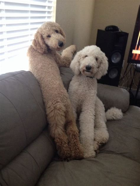 poodle haircuts images 12 best goldendoodle cuts images on pinterest poodles