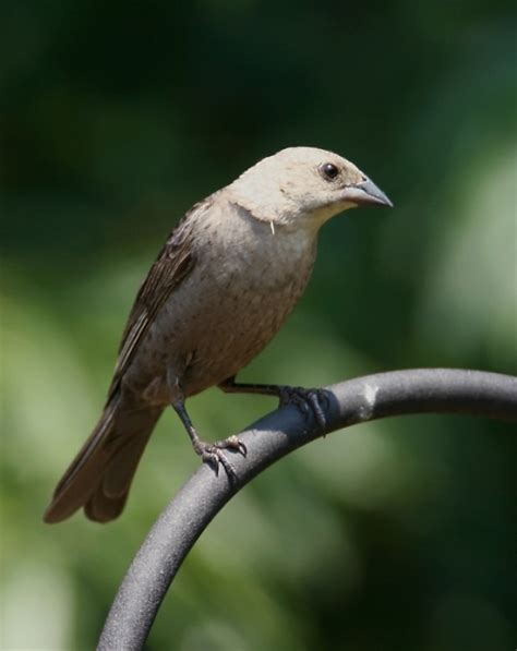 bill hubick photography brown headed cowbird molothrus
