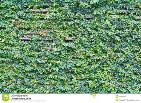climbing fig plant 25 best images about courtyard on search