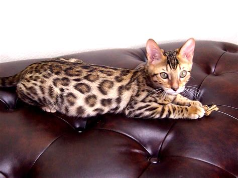 cats for sale cheetah kitten for sale