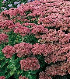 fall blooming perennials 17 best images about gardening on pinterest garden ideas