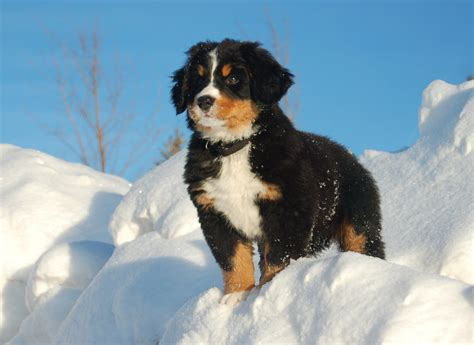 bernese mountain puppy bernese mountain puppy gazing into the distance wallpapers and images wallpapers