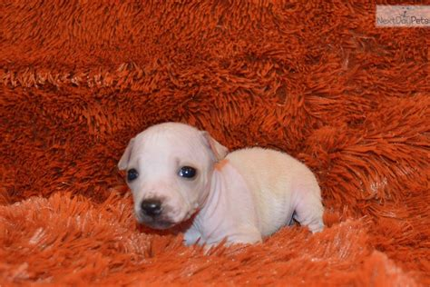 american hairless terrier puppies for sale american hairless terrier puppy for sale near dallas fort worth