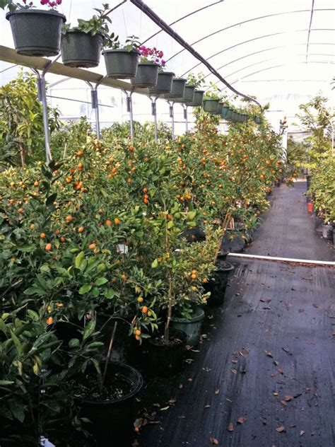 houston fruit tree sale buying citrus trees in houston the bell house growing