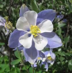 cannundrums colorado blue columbine